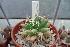 (Mammillaria longimamma - GE02252.6)  @11 [ ] Copyright  Salvador Arias Unspecified