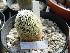 (Mammillaria napina - GE02228.6)  @11 [ ] Copyright  Salvador Arias Unspecified