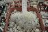 (Mammillaria plumosa - GE02255.6)  @11 [ ] Copyright  Salvador Arias Unspecified