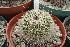 (Mammillaria varieaculeata - GE02232.6)  @11 [ ] Copyright  Salvador Arias Unspecified
