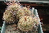 (Mammillaria varieaculeata - GE02233.6)  @11 [ ] Copyright  Salvador Arias Unspecified