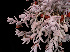  (Sedum craigii - GE02399)  @11 [ ] Copyright (2010) J. Reyes 2027 Unspecified