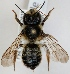 (Megachile ligniseca - FACU-000103)  @15 [ ] CreativeCommons - Attribution Non-Commercial (2012) Marko Mutanen University of Oulu