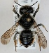 (Megachile versicolor - FACU-000106)  @15 [ ] CreativeCommons - Attribution Non-Commercial (2012) Marko Mutanen University of Oulu