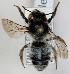 (Megachile analis - FACU-000111)  @15 [ ] CreativeCommons - Attribution Non-Commercial (2012) Marko Mutanen University of Oulu