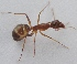 (Camponotus mitis - AAI_60)  @13 [ ] Unspecified (default): All Rights Reserved  Unspecified Unspecified