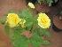 (Rosa hybrid cultivar - B112)  @11 [ ] Copyright (2014) PHCDBS Paul Hebert Centre For DNA Barcoding And Biodiversity Studies