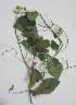 (Passiflora alata - B167)  @11 [ ] Copyright (2014) PHCDBS Paul Hebert Centre For DNA Barcoding And Biodiversity Studies
