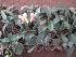 (Dendrobium kingianum - B243.1)  @11 [ ] C (2014) PHCDBS Pual Hebert Centre For DNA Barcoding AND Biodiversity Studies