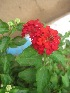 (Lantana camara - B87)  @11 [ ] Copyright (2014) PHCDBS Paul Hebert Centre For DNA Barcoding And Biodiversity Studies