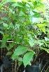 (Quisqualis - OP81)  @11 [ ] CreativeCommons - Attribution Non-Commercial Share-Alike (2012) Akhilesh Kumar Gupta Paul Hebert Center For DNA Barcoding And Biodiversity Studies,Aurangabad,Maharashtra