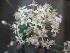 (Allium tuberosum - UNKAR2099)  @11 [ ] by-nc (2014) Unspecified Karlsruhe Institute of Technology, Botanical Garden