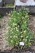 (Allium fistulosum - UNKAR5277)  @11 [ ] by-nc (2014) Unspecified Karlsruhe Institute of Technology, Botanical Garden