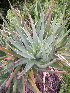 (Aloe succotrina - BHD424)  @14 [ ] No Rights Reserved  Olivier Maurin University of Johannesburg