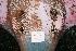 (Hexatrygonidae - BPS-0508)  @13 [ ] Copyright (2002) Samuel P. Iglesias Museum national d'Histoire naturelle