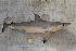 (Carcharhiniformes - BPS-0551)  @15 [ ] Copyright (2013) Samuel P. Iglesias Museum national d'Histoire naturelle