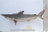  (Carcharhinus brevipinna - BPS-0651)  @14 [ ]  (2013) Samuel P. Iglesias Museum national d&#039;Histoire naturelle