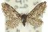 (Epipyropidae - 10ANIC-02260)  @14 [ ] CreativeCommons - Attribution Non-Commercial Share-Alike (2010) BIO Photography Group BIO/CSIRO