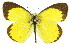  (Eurema - 11ANIC-06745)  @16 [ ] CreativeCommons - Attribution Non-Commercial Share-Alike (2011) ANIC/BIO Photography Group BIO/CSIRO