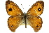 (Hypocysta euphemia - 11ANIC-07174)  @13 [ ] CreativeCommons - Attribution Non-Commercial Share-Alike (2011) ANIC/BIO Photography Group BIO/CSIRO