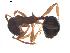 (Aphaenogaster subterranea - CCDB-08858-D04)  @14 [ ] Copyright  G. Blagoev 2010 Unspecified
