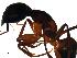 (Camponotus samius - CCDB-10376-F11)  @14 [ ] Copyright  G. Blagoev 2010 Unspecified