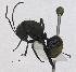 (Dolichoderus sericeiventris - MACN-Bar-Ins-5617)  @11 [ ] Copyright (2014) MACN Museo Argentino de Ciencias Naturales ``Bernardino Rivadavia´´