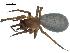 (Cybaeus morosus - BIOUG07162-B05)  @14 [ ] CreativeCommons - Attribution Non-Commercial Share-Alike (2013) G. Blagoev Biodiversity Institute of Ontario