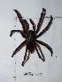 (Stichoplastoris - INB0003535231)  @13 [ ] Copyright (2012) C. Viquez Instituto Nacional de Biodiversidad