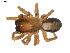 (Callobius bennetti - BIOUG00614-B09)  @14 [ ] Copyright  G. Blagoev 2010 Unspecified