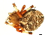 (Araneus marmoreus - 08BBARAC-0018)  @14 [ ] CreativeCommons - Attribution Non-Commercial Share-Alike (2008) Unspecified Biodiversity Institute of Ontario