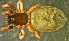(Phaeocedus - TRD-ARA120)  @11 [ ] CreativeCommons – Attribution Non-Commercial Share-Alike (2014) Arne Fjellberg Arne Fjellberg Entomological Research