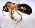 (Camponotus herculeanus Q. sp. 01 - BIOUG01461-F05)  @11 [ ] CreativeCommons - Attribution Non-Commercial Share-Alike (2011) M. Alex Smith Biodiversity Institute of Ontario