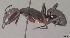 (Camponotus gouldi - CASENT0107749-D01)  @13 [ ] Unspecified (default): All Rights Reserved  Unspecified Unspecified