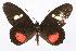 (Archonias brassolis approximata - INB0003155389)  @15 [ ] CreativeCommons - Attribution Non-Commercial Share-Alike (2012) National Biodiversity Institute of Costa Rica National Biodiversity Institute of Costa Rica