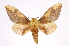 (Citheronia lobesis - INB0003738348)  @15 [ ] Copyright (2012) I. Chacon Instituto Nacional de Biodiversidad