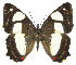(Pyrrhogyra - INB0003854498)  @15 [ ] Copyright (2011) J. Montero Instituto Nacional de Biodiversidad