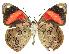 (Diaethria - INB0004158977)  @16 [ ] Copyright (2011) J. Montero Instituto Nacional de Biodiversidad