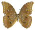 (Morpho menelaus amathonte - INB0004270038)  @15 [ ] Copyright (2011) J. Montero Instituto Nacional de Biodiversidad