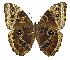 (Morpho helenor marinita - INB0004270612)  @15 [ ] Copyright (2011) J. Montero Instituto Nacional de Biodiversidad