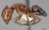 (Camponotus essigi - CASENT0505307)  @13 [ ] Unspecified (default): All Rights Reserved  Unspecified Unspecified