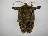 (Edessa laticornis - INB0003780906)  @15 [ ] Copyright (2012) Jim Lewis Instituto Nacional de Biodiversidad