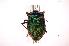 (Rhyssocephala - INB0003947047)  @17 [ ] Copyright (2012) Jim Lewis Instituto Nacional de Biodiversidad