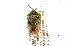 (Edessa stalii - INBIOCRI000283902)  @11 [ ] Copyright (2012) Jim Lewis Instituto Nacional de Biodiversidad