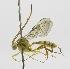 (Brachycyrtinae - INB0004030060)  @14 [ ] Copyright (2011) R.Zuniga INBio