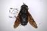 (Tabanus erebus - INB0003165860)  @11 [ ] Copyright (2012) M. Zumbado Instituto Nacional de Biodiversidad