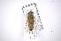 (Tabanus claripennis - INB0003311119)  @13 [ ] Copyright (2012) M. Zumbado Instituto Nacional de Biodiversidad