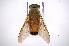 (Tabanus bigoti - INB0003325809)  @11 [ ] Copyright (2012) M. Zumbado Instituto Nacional de Biodiversidad