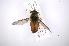 (Tabanus praeteritus - INB0003717738)  @14 [ ] Copyright (2012) M. Zumbado Instituto Nacional de Biodiversidad