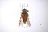 (Tabanus oculus - INB0003855981)  @14 [ ] Copyright (2012) M. Zumbado Instituto Nacional de Biodiversidad